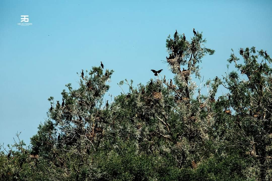 colonie-cormorani