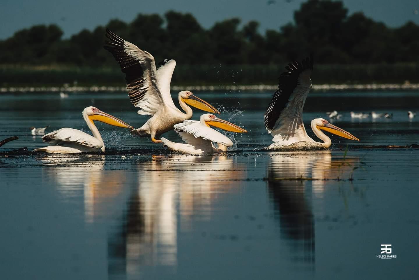 colonie-pelicani-1