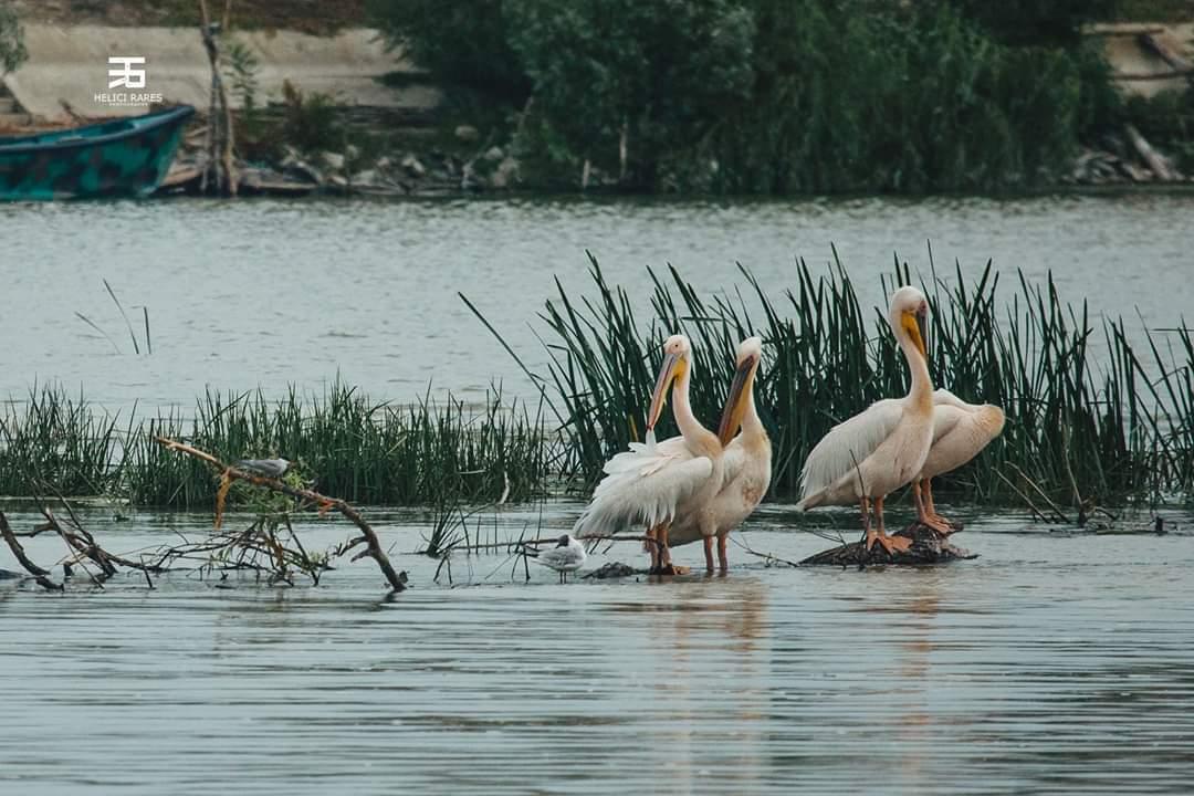 colonie-pelicani-10