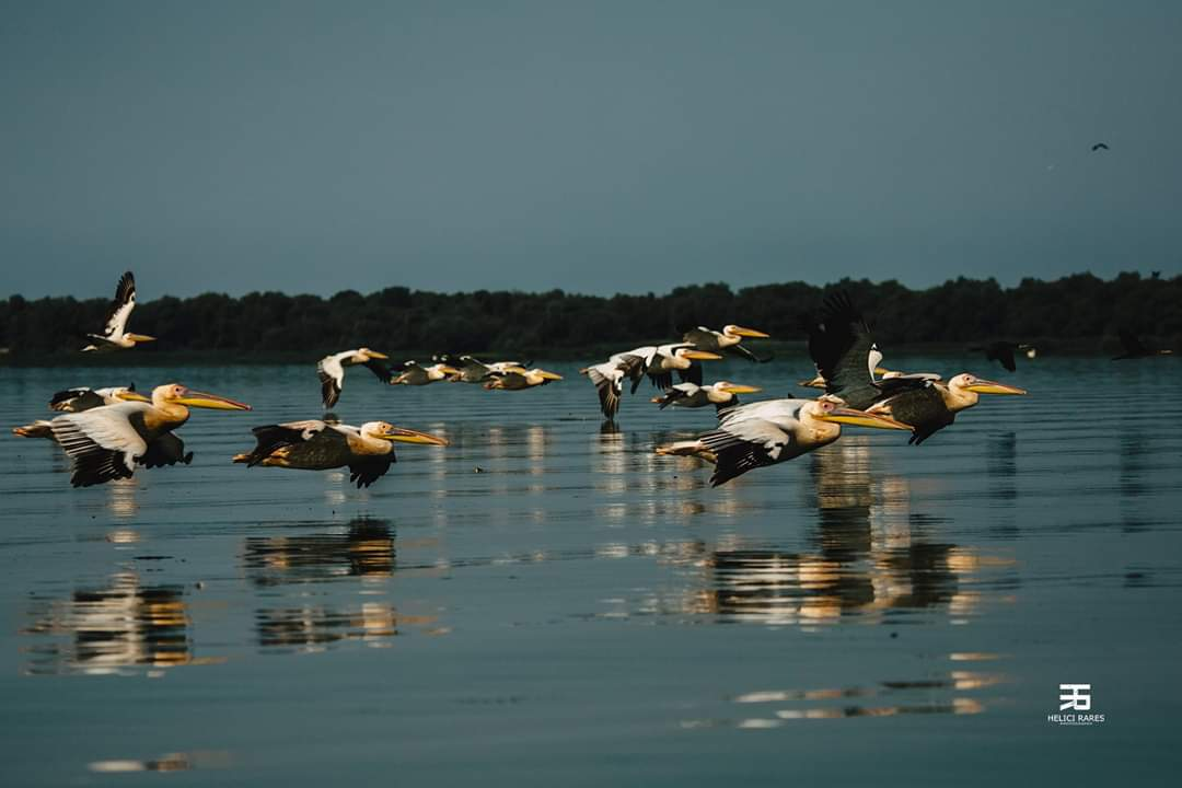 colonie-pelicani-11