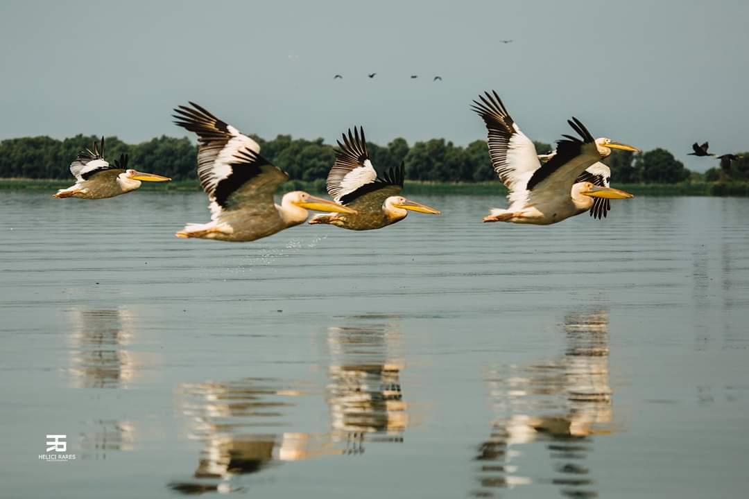 colonie-pelicani-2