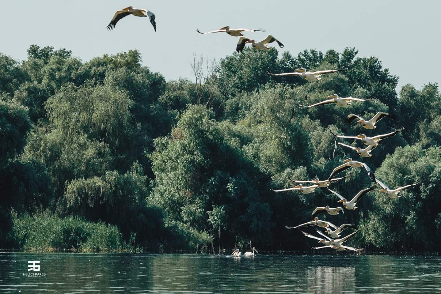 colonie-pelicani-5