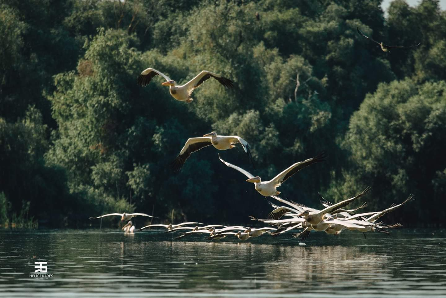 colonie-pelicani-6