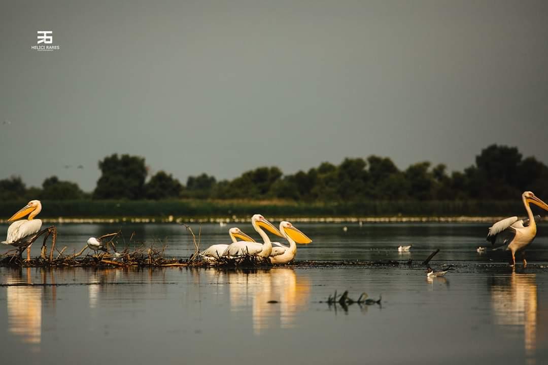 colonie-pelicani-9