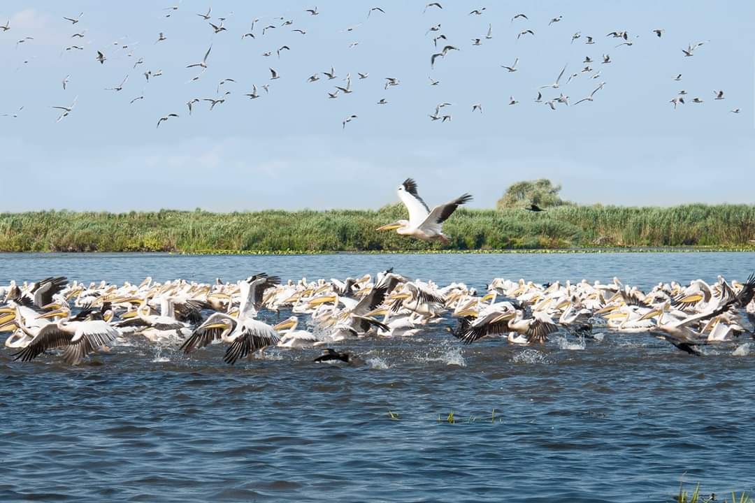 colonie-pelicani