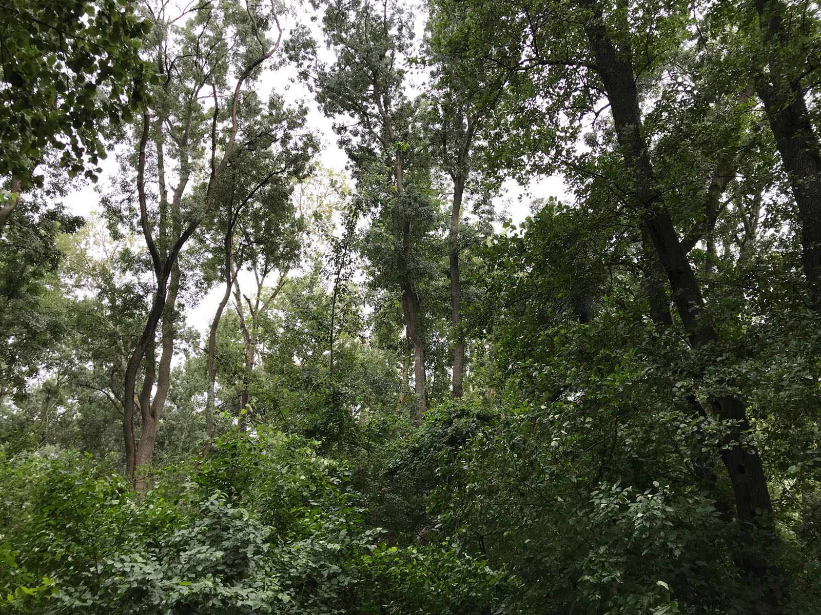 copaci-letea
