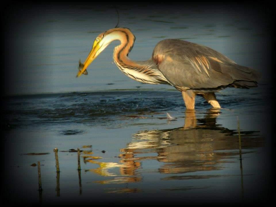 cormoran-pescar