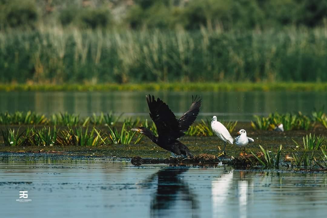 cormoran-si-pescarusi-salbatici