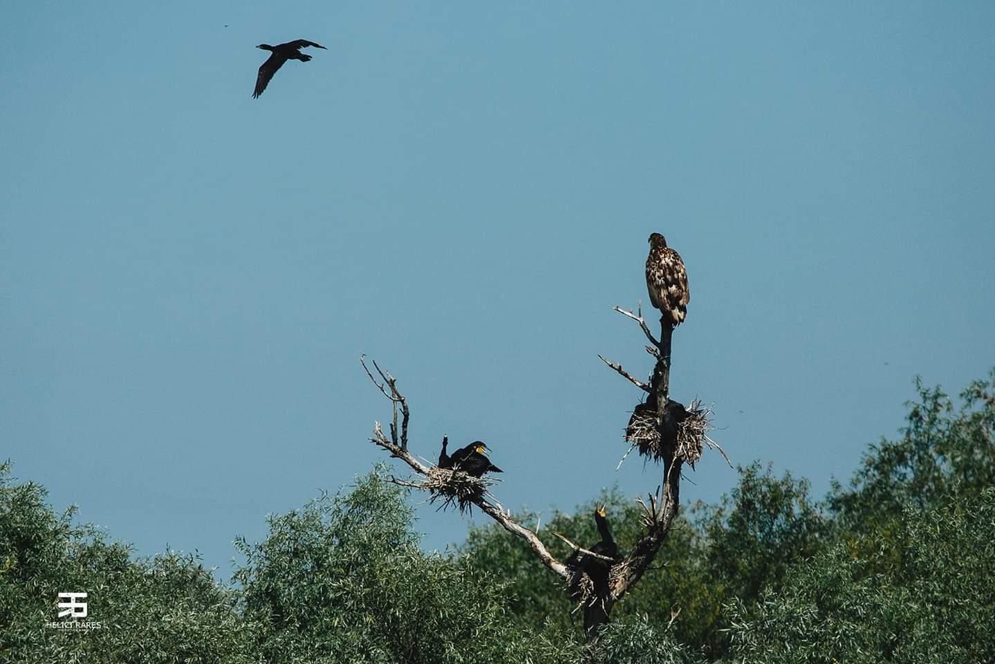 cormorani-in-copac