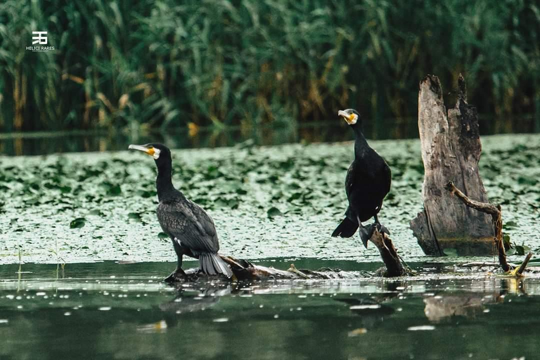 cormorani-salbatici