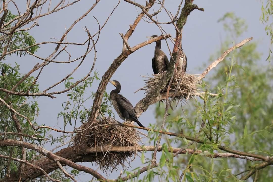 cuiburi-cormorani