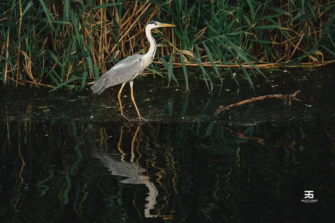 egreta-salbatica-2
