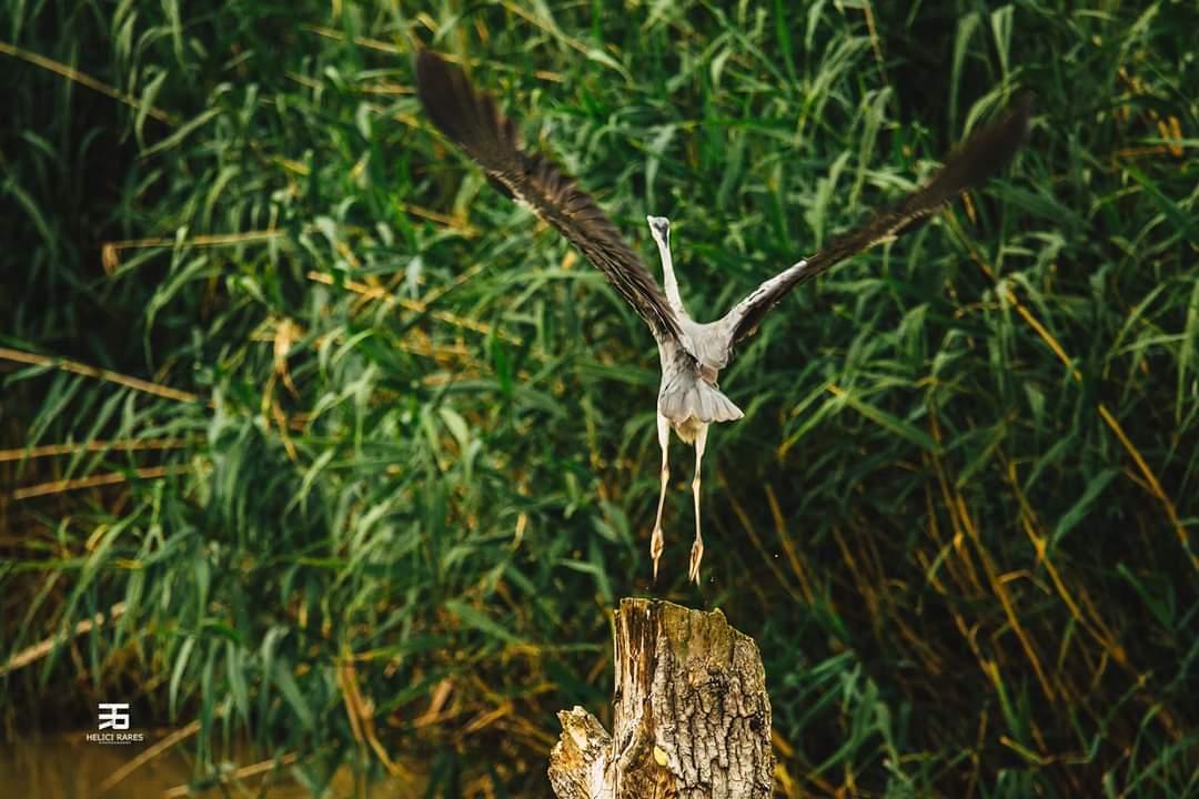 egreta-salbatica