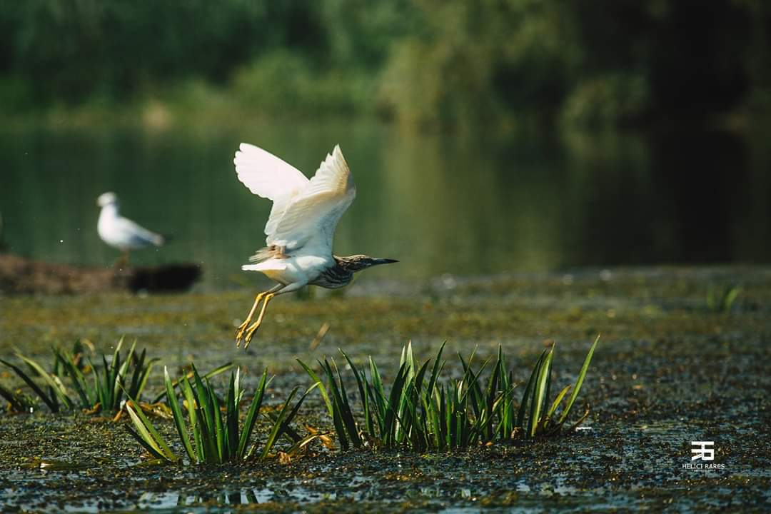pasare-salbatica-delta-dunarii