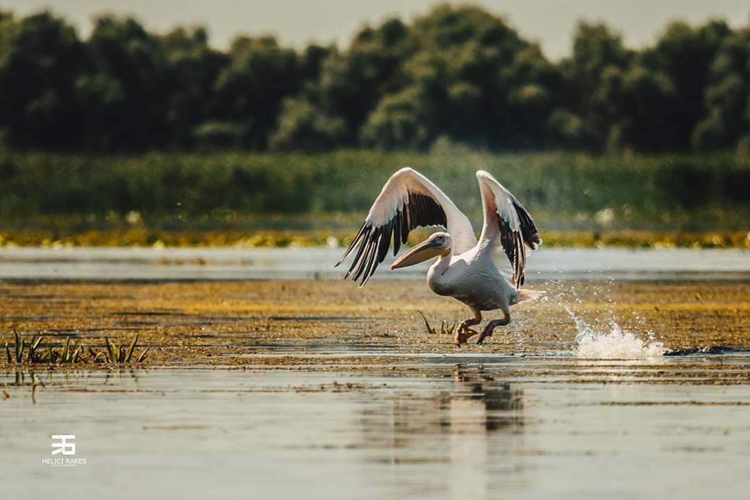 pelican-apa
