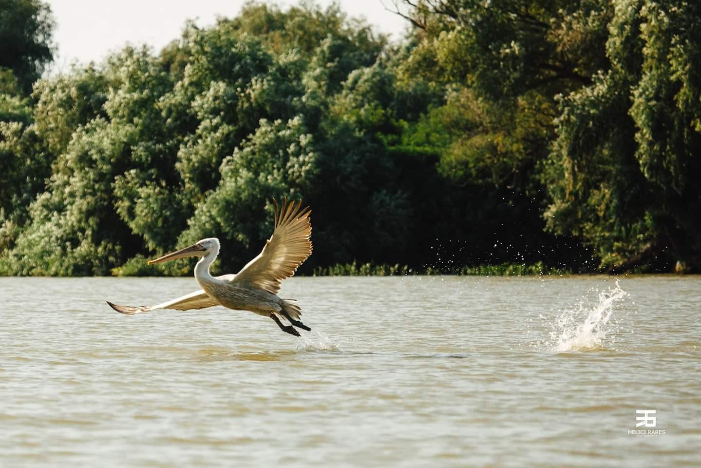 pelican-aterizand