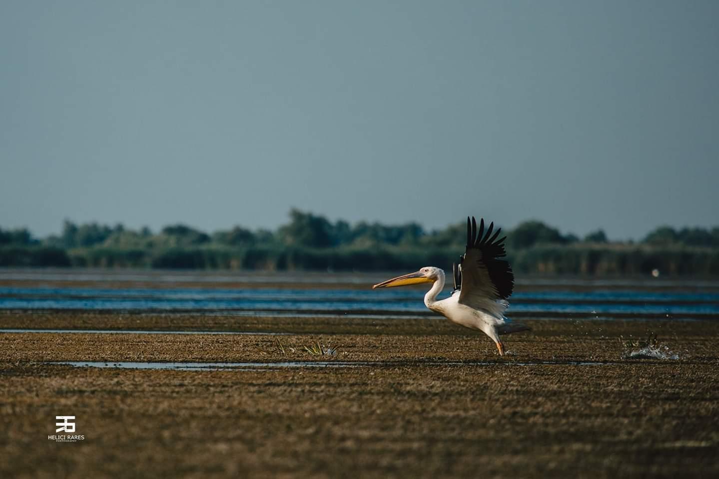 pelican-pe-apa