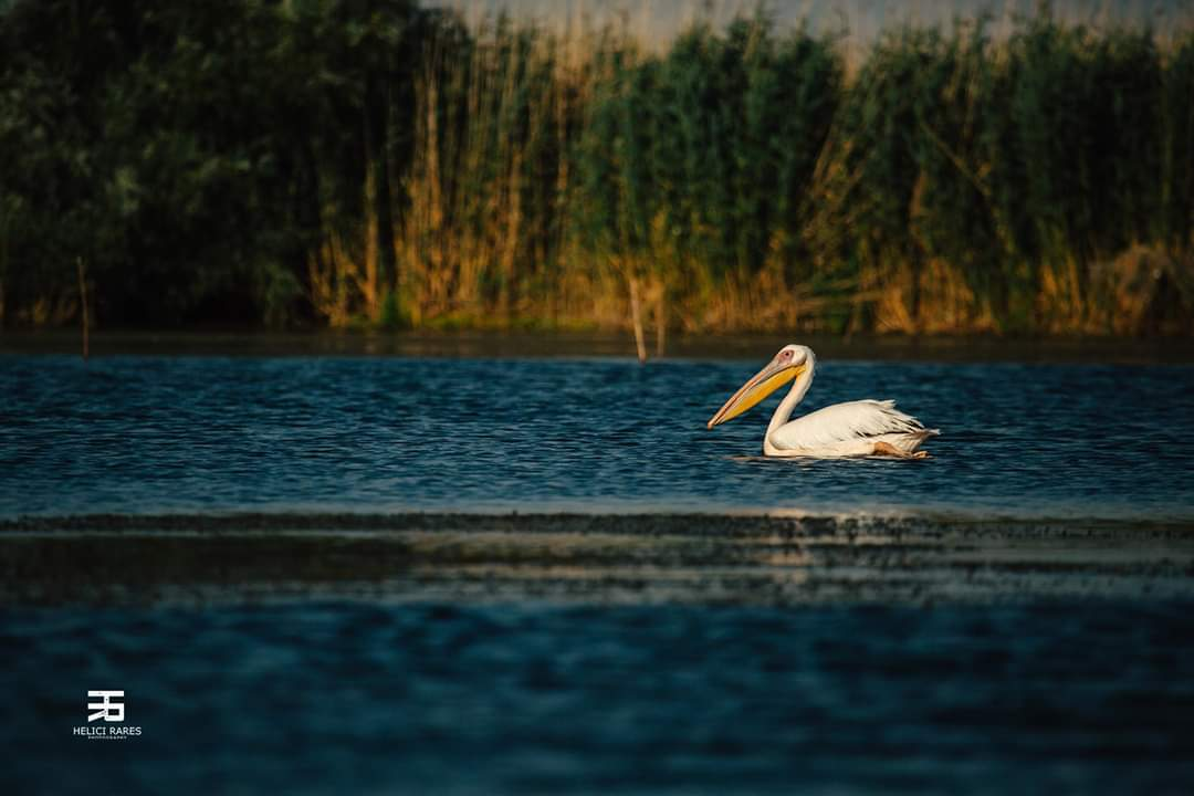 pelican-salbatic