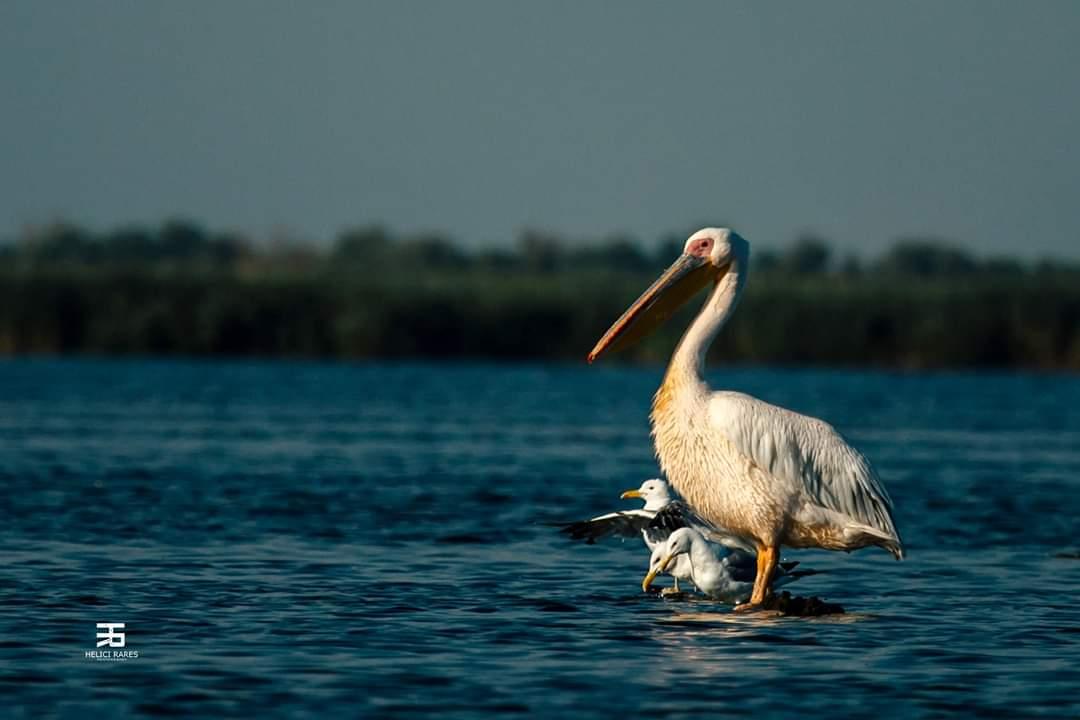 pelican-si-pescarus