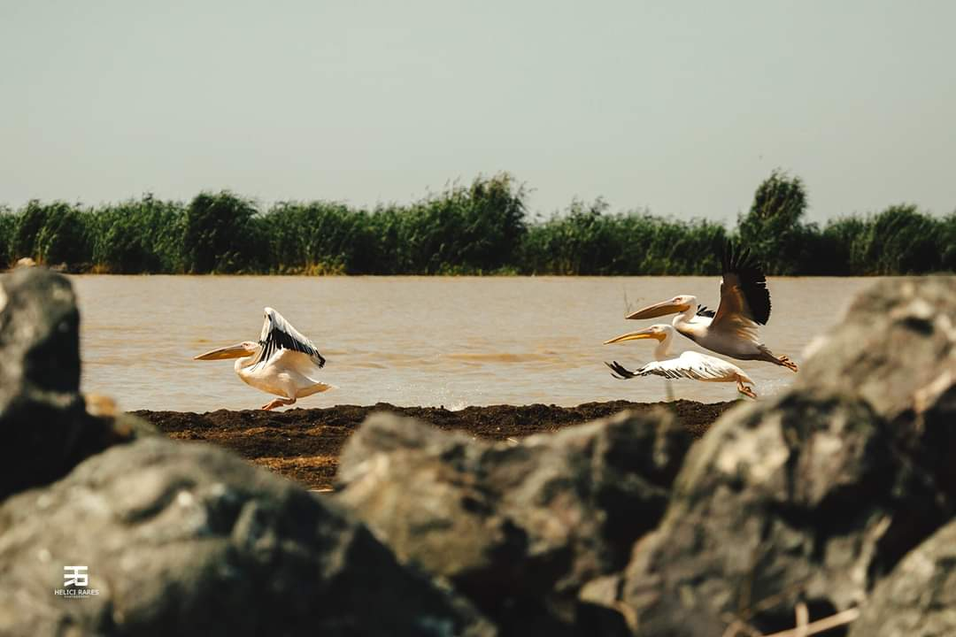 pelicani-apa