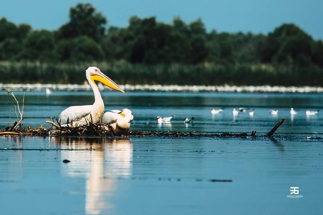 pelicani-colonie-delta