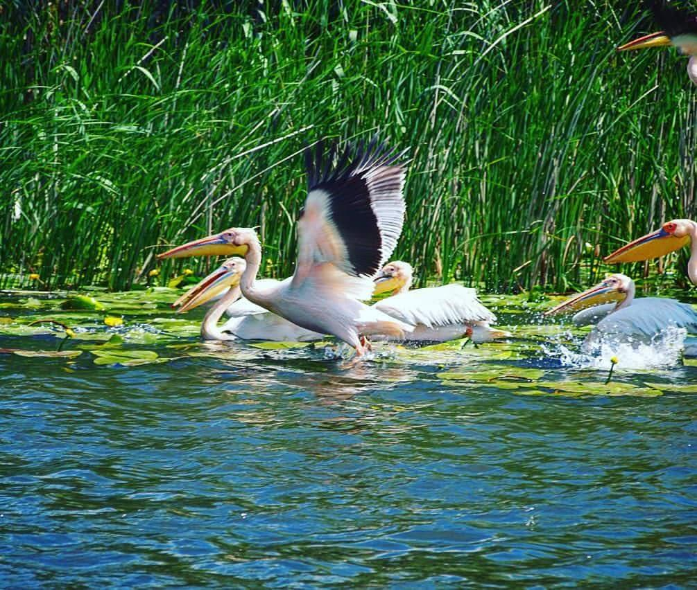 pelicani-delta