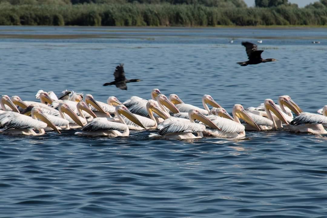 pelicani-mila-23