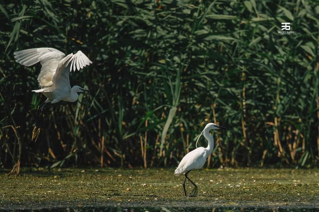pereche-egrete