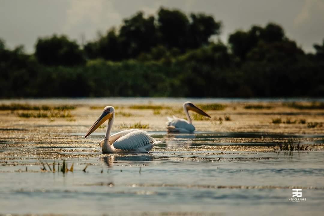 pereche-pelicani