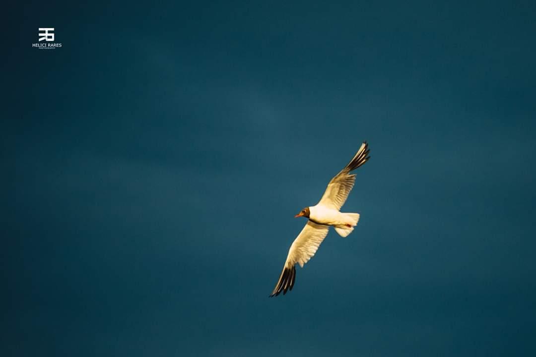 pescarus-zbor