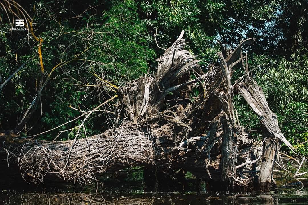 radacina-copac