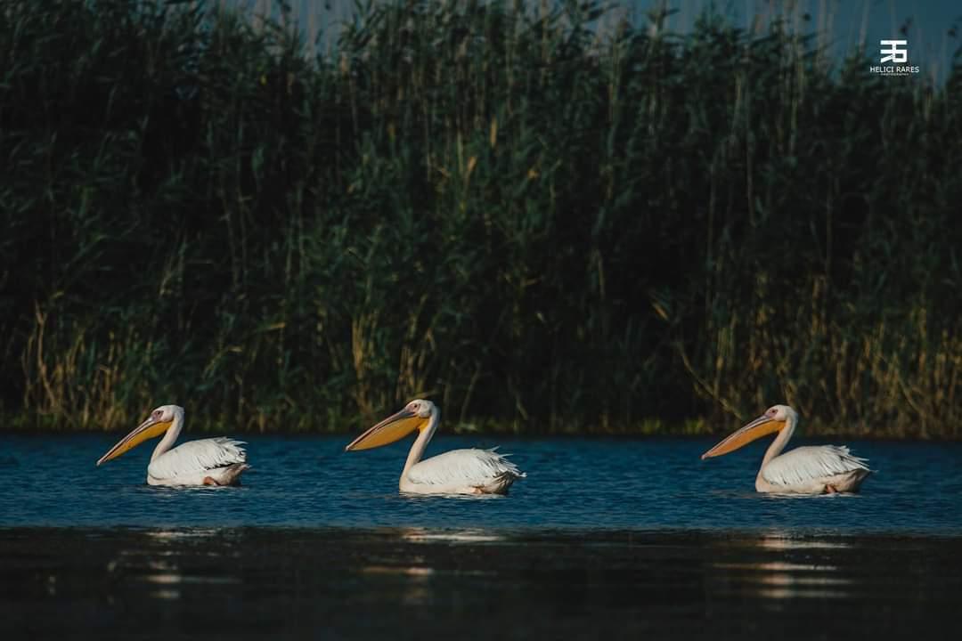 trei-pelicani